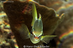Pale monocle bream